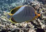 Butterflyfish_Yellowhead-Butterflyfish_Chaetodon-xanthocephalus_P4072428_.jpg