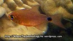 Species_Fish_Cardinalfish-Narrowlined Cardinalfish-Archamia-fucata_P5112759_