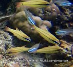 Cardinalfish_Bargill-Cardinalfish_Apogon-sealei_P8150124_P1018529.jpg