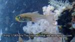 Cardinalfish_Black-Nosed-Cardinalfish_Rhabdamia-cypselurus_P1283907_.JPG