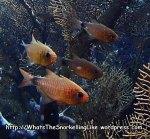 Cardinalfish_Duskytailed-Cardinalfish_Archamia-macroptera_P4113429