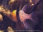 Cardinalfish_Pyjama-AKA-Pajama_Sphaeramia-nematoptera_IMG_2913_.jpg