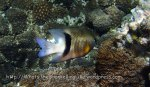 Species_Fish_Damselfish_Blackbar-Damselfish-AKA-Dicks-Damsel_Plectroglyphidodon-dickii_P7105746