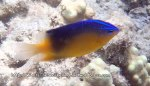 Damselfish_Blueback-Damselfish_Pomacentrus-simsiang_P4092780_.JPG