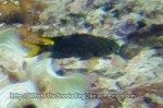 Damselfish_Demoiselle-Regal_Neopomacentrus-cyanomos_IMG_2964_.jpg