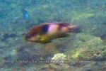 Damselfish_Honeyhead-Damselfish_Dischistodus-prosopotaenia_IMG_7836.jpg