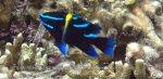 Damselfish_Javanese-Damselfish-Juvenile_Neoglyphidodon-oxyodon_P7095636.JPG