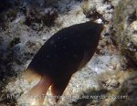 Damselfish_Jewel-Damselfish_Plectroglyphidodon-lacrymatus_P7054987.jpg