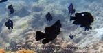 Damselfish_Threespot-Dascyllus-Juvenile_Dascyllus-trimaculatus_P4062053_.JPG