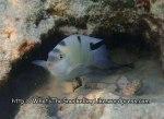 Damselfish_White-Damsel_Dischistodus-perspicilliatus_P1258043_.JPG
