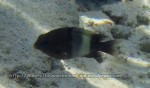 Damselfish_Whitebar-Gregory-Damselfish_Stegastes-albifasciatus_IMG_5839_.jpg