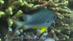 Species_Fish_Damselfish_Whitebelly-Damselfish-AKA-Yellowbelly-Damselfish_Amblyglyphidodon-leucogaster_P8150148_P1018553
