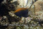 Damselfish_Whitetail-Damselfish-Juvenile_Pomacentrus-chrysurus_PC041388_.jpg