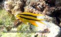 Species_Fish_Damselfish_Yellowtail-Damselfish-AKA-Behns-Damsel_Neoglyphiodonon-nigroris_P4082594_
