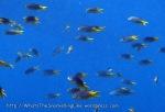 Damselfish_Yellowtail-Demoiselle_Nepomacentrus-azysron_P4051789.JPG