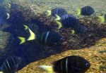 Damselfish_Yellowtail-Sergeant-Damselfish_Abudefduf-notatus_P4154375_.JPG