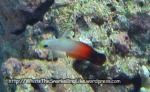 Dartfish_Fire-Dartfish_Nemateleotris-magnifica_IMG_7630_.jpg