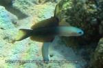 Dartfish_Twotone-Dartfish_Ptereleotris-evides_IMG_9244.jpg