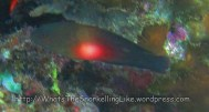 Dottybacks_Whitebar-Dottyback_Labracinus-sp_IMG_3237.jpg