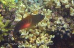 Dottybacks_Whitebar-Dottyback_Labracinus-sp_IMG_3503.jpg