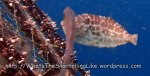 Species_Fish_Filefish_Unicorn-Filefish-AKA-Unicorn-Leatherjacket_Aluterus-monoceros_P4154403_