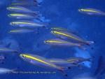 Fusliers_Narrowstripe-Fusiliers_Pterocaesio-tessellata_P4113510_.jpg