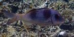Goatfish_Doublebar-Goatfish-Phase_Parupeneus-bifasciatus_PA190054.jpg