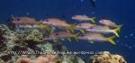 Goatfish_Yellowfin-Goatfish_Mulloidchthys-vanicolensis_P1319029_.JPG