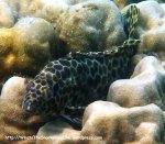 Species_Fish_Grouper_Longfin-Grouper_Epinephelus-quoyanus_P3180254_