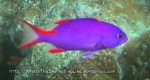 Species_Fish_Grouper_Masked-Grouper-AKA-Thinspine-Grouper-juvi_Gracila-albomarginata_IMG_8693