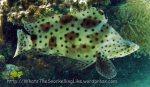 Grouper_Panther-Grouper-AKA-Barramundi_Cromileptes-altivelis_IMG_3258_.jpg