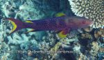 Grouper_Yellow-Edged-Lyretail_Variola-louti_IMG_0182.jpg
