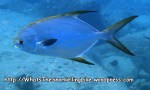 jacks_snubnose-pompano_trachinotus-blochi_p406225