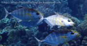 Species_Fish_Jacks_Trevally_Orange-Spotted-Trevally-(variation)_Carangoides-bajad_PA190033