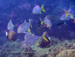 Species_Fish_Jacks_Trevally_Silver-Trevally_Pseudocaranx-dentex_P8061833.JPG