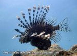 lionfish_common-lionfish_pterois-volitans