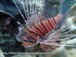 Lionfish_Common-Lionfish_Pterois-volitans_P5022613_.JPG