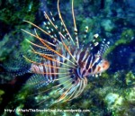 Species_Fish_Lionfish_Spotfin-Lionfish_Pterios-antennnata_PC180506_