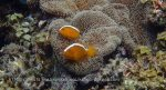 Nemo_Anemonefish_Orange-Anemonefish_Amphiprion-sandaracinos_P7276802.JPG