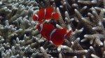Nemo_Anemonefish_Spinecheek-Anemonefish_Premnas-biaculeatus_P7095529.JPG