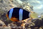 Species_Fish_Nemo_Clarkes_Anemonefish_Ampihiprion-clarkii_P7051669_