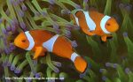 Species_Fish_Nemo_False-Clown-Anemonefish_Amphiprion-percula_P7060214