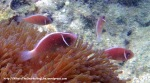 Species_Fish_Nemo_Pink-Skunk-Anemonefish_Amphiprion-perideraion_P8020845_
