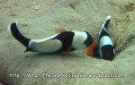 Nemos-Saddeback-Anemonefish_Amphiprion-polymnus_IMG_1637.jpg