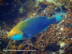Species_Fish_Parrotfish_Yellow-Barred-Parrotfish_Scarus-dimidiatus_P8051578_