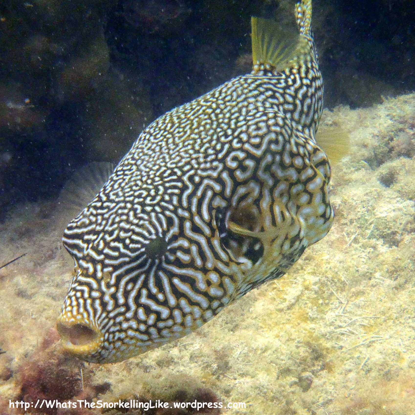 Thailand commonfish whatsthesnorkellinglike for Types of puffer fish