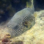 Species_Fish_Pufferfish_Map-Pufferfish_Arothron-mappa_P5122956_