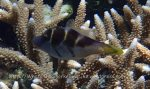 Species_Fish_Pufferfish_Toby_Crown_Crown-Toby-AKA-Crowned-Puffer_Canthigaster-coronata_P6274441