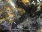 Species_Fish_Pufferfish_Toby_Spotted_Spotted-Toby-AKA-Indian-Toby_Cathigaster-solandri_P8048233
