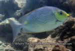 Rabbitfish_Lined-Rabbitfish_Siganus-lineatus_P1162692_.JPG